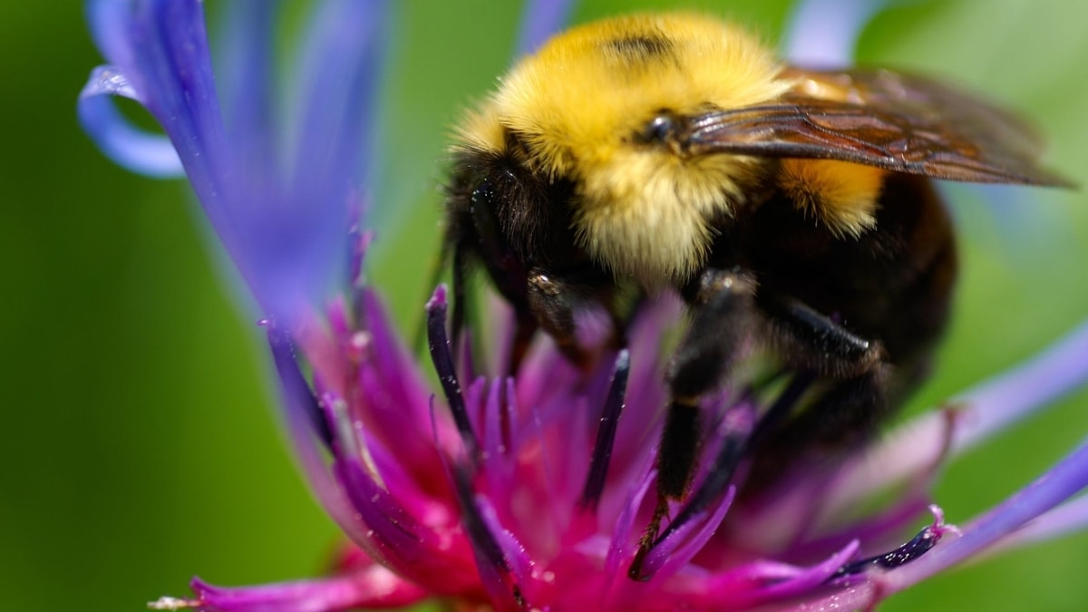 How to Get Rid of Bumblebees Without Killing Them