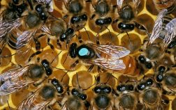 How Long Can A Hive Be Queenless