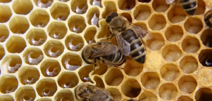 What Does Capped Brood Look Like
