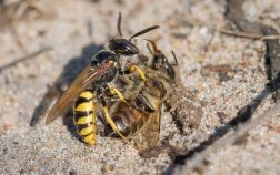 What Eats Bees In The Food Chain