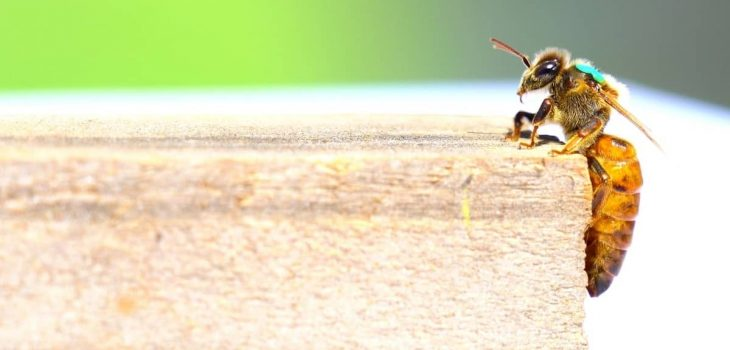 Do Queen Bees Leave The Hive