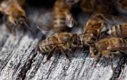 How Much Do Honey Bees Cost