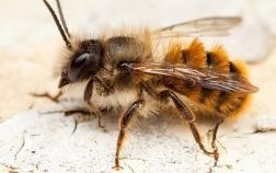 The Red Mason Bee